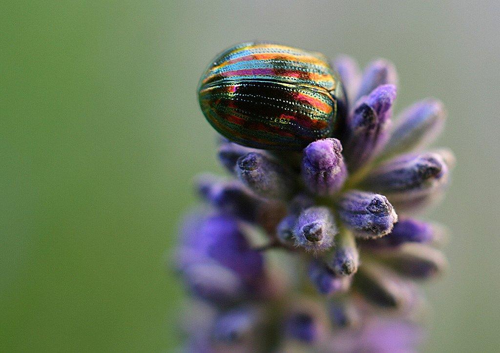 Lavendelkaefer2.jpg